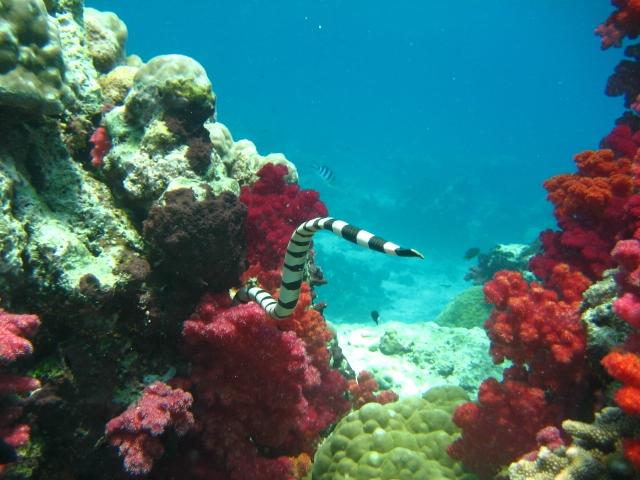 Coral snake Fijii