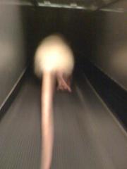 Rat running on treadmill