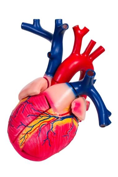 hjerte.jpg (Studiekatalog (380px))