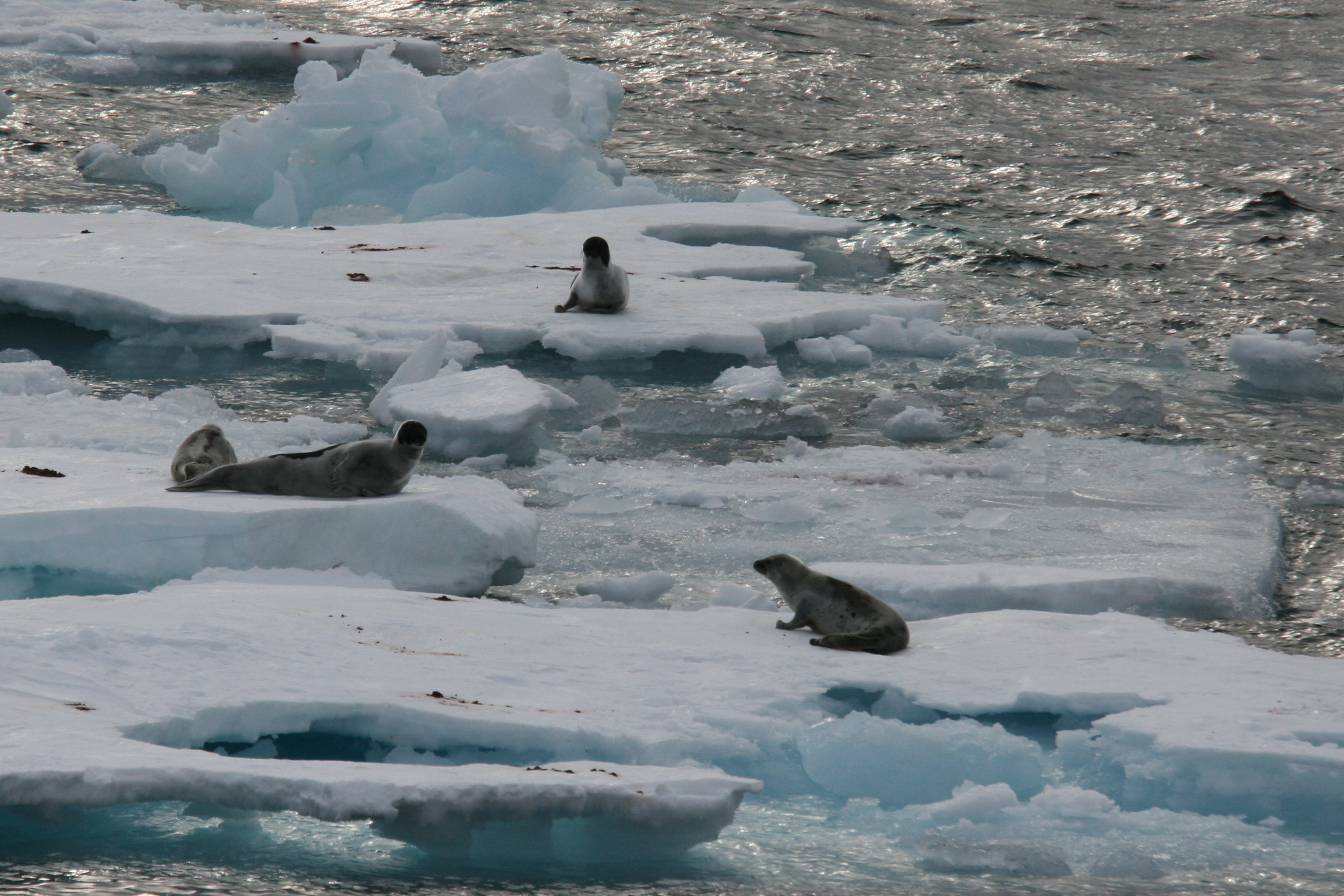 Greenland Seal - CONFLUX
