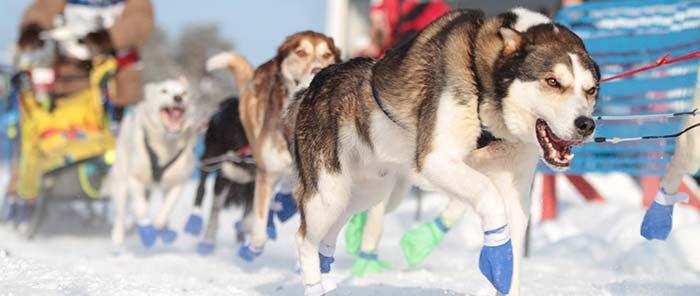 Huskies running close to camera