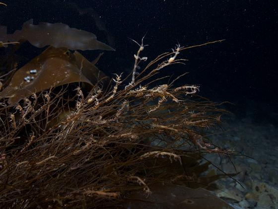 Havet syder av liv, også i mørketida. Foto: Geir Johnsen