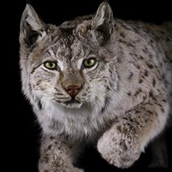 I vår store utstilling om dyreliv i nord er ser vipå hvordan dyrene tilpasser seg det å bo nær mennesker og hvordan menneskene påvirker sine omgivelser.