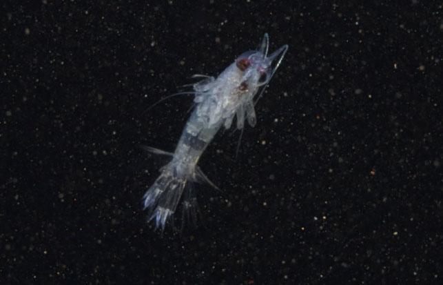 Themisto libellula er en av artene som trekker ned i dypet når det blir fullmåne. Foto: Geir Johnsen, NTNU/Unis