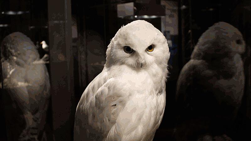 Snøugle som sitter - fra Fugletrekkes Gåte r800x450.jpg