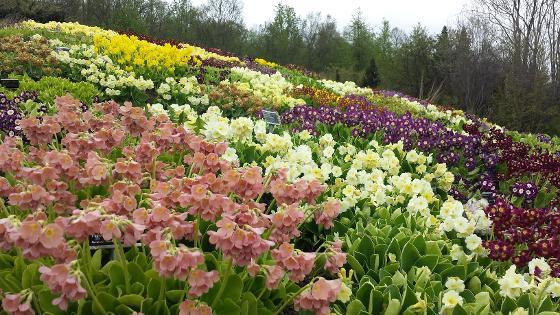 Aurikler i Botanisk hage