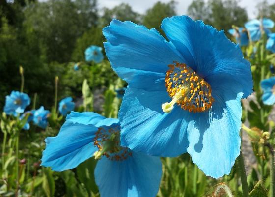 Meconopsis Lingholm, peonarium BH 1.7.16 - beskjært.jpg