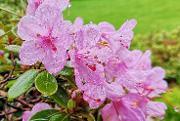 "Rhododendron hybrid "" Charme La"""