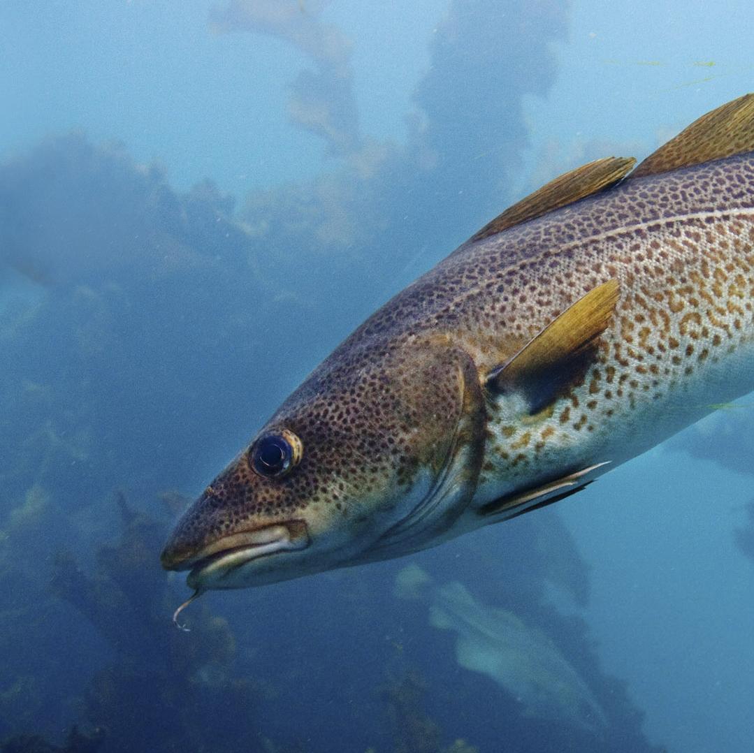 square#1_cod_generalist fish moving poleward.jpg