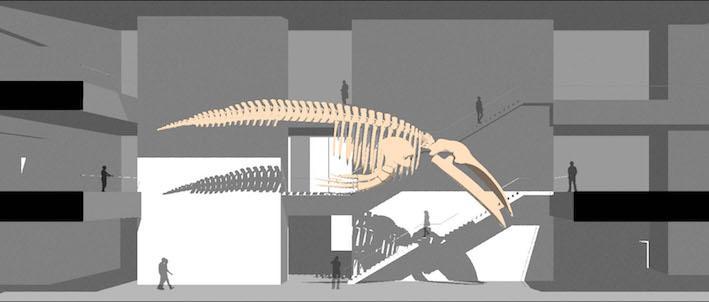 Når nytt museum er på plass, planlegger arkitektene at man skal kunne se hvalskjelettet fra alle tre etasjer i bygget. Denne foreløpige skissen er tegnet av arkitekt Henning Larsen.