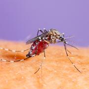 dengueMyggsquare.jpg