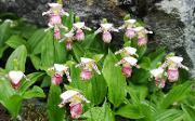 marisko-orkidéen Cypripedium guttatum. Foto: Arve Elvebakk, UM