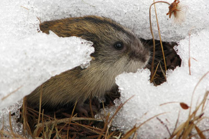 Lemen i snø. Bilde: L. Demongin