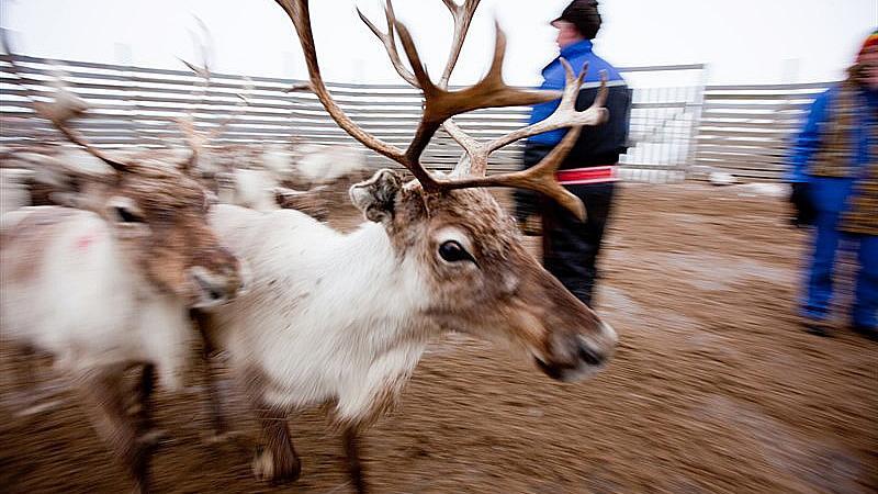 Reinsdyr og reindriftsutøvere. Foto: UiT
