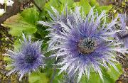 Eryngium alpinum. Foto: Arve Elvebakk, UM.jpg