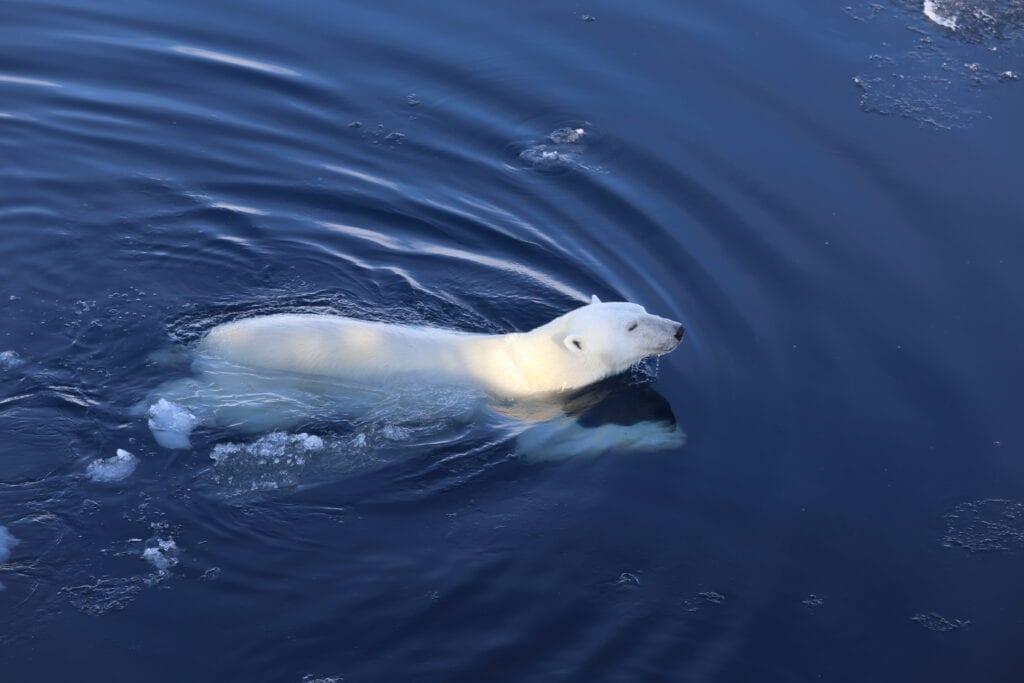isbjørn som svømmer