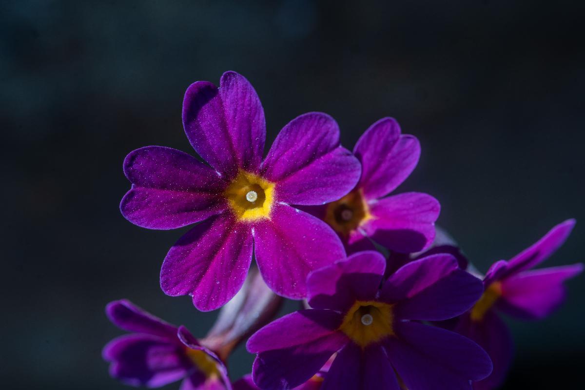 Primula amoena er en vill hagenøkleblom-art fra Øst-Tyrkia